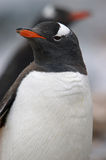 Closeup Antarctic Gentoo penguin. Close up of a gentoo penguin with another in the background in Antarctica royalty free stock photography