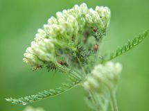 Closeup of Aphid Stock Photography