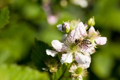 Closeup of apis honey bee visiting blackberry flower rubus in spring in front of natural green background. Selective focus. Shallow depth of field stock photography
