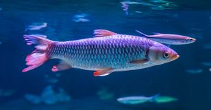 Closeup of an apollo shark minnow in the water, tropical fish from Asia royalty free stock photos