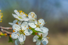 Closeup apple blossom Royalty Free Stock Image