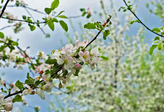 Closeup of Apple blossoms Royalty Free Stock Photos