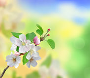 Closeup of Apple blossoms over nature background Royalty Free Stock Image