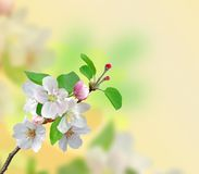 Closeup of Apple blossoms over nature background Stock Photos