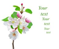 Closeup of Apple blossoms with sample text Royalty Free Stock Images