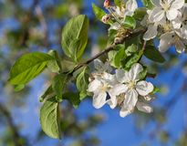 Blooming apple orchard stock images