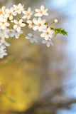 Closeup of apple tree blossom in spring Stock Photography