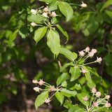 Closeup of apple tree branch with flower buds early in spring Stock Photography