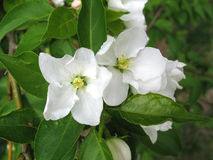Closeup of apple-tree flowers royalty free stock photo