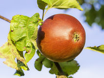 Closeup apple on tree Stock Photo