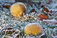 Closeup of apples on a frosty ground. In early winter Stock Photography