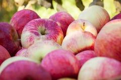 Closeup of apples Stock Photography