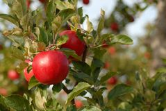 Closeup of apples on tree. In morning light Stock Image