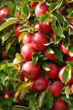 A closeup of apples on a tree Stock Photography