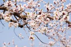 Closeup of apricot blossom Stock Photos