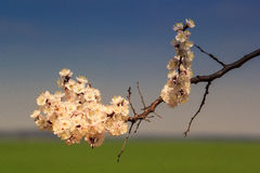 closeup apricot branch in blossom against blue sky Stock Photography