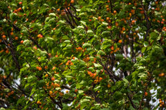 Closeup apricot tree. Close-up image of apricot tree with fruits Stock Images