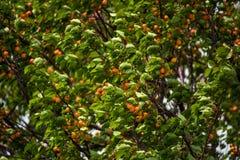 Closeup apricot tree stock images
