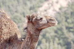 Camel in Mountains, Morocco stock images