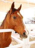 Closeup of Arabian horse with beautiful eye Stock Photos