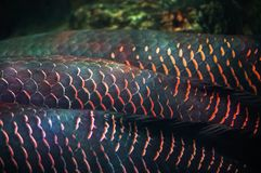 Closeup Arapaima or Sudis gigas. Also known as the pirarucu. Wildlife animal Royalty Free Stock Photography