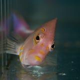 Closeup Arceye Hawkfish. Detail of a Arc eye hawkfish Royalty Free Stock Image