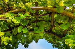 Closeup of arch with vines and grapes. Closeup of arch with leafy vines and wine-making grapes on a sunny day Stock Photo