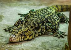 Closeup of a argentine giant tegu sleeping on the ground, big lizard from America, popular pet in herpetoculture. A closeup of a argentine giant tegu sleeping on royalty free stock image