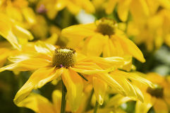 Closeup of arnica horizontal Royalty Free Stock Image