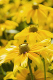 Closeup of arnica vertical Stock Images