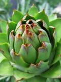 Closeup of artichoke. Closeup of  beautiful example of artichoke in the garden Royalty Free Stock Image