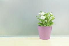 Closeup artificial plant with white flower on purple pot on blurred wooden desk and frosted glass wall textured background Royalty Free Stock Photography