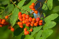 Closeup of ashberries in forest Stock Photography
