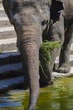 Closeup asian elephant eating green grass. Stock Photo