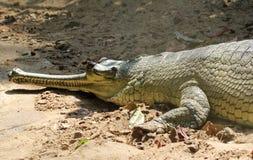 Closeup of asian gharial Stock Photos