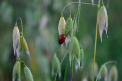 Closeup of Asian Ladybug Beetle (Harmonia axyridis) and Oats Stock Photo