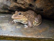 Closeup of Asian River Frog (Limnonectes blythii) Royalty Free Stock Photos