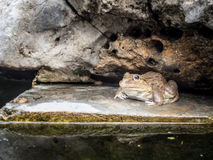 Closeup of Asian River Frog in pond Stock Photo