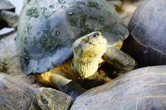Closeup asian turtle walking Royalty Free Stock Photography