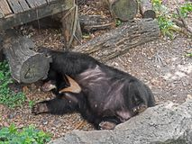 Asiatic Black Bear Sleeping Near Timber royalty free stock photography