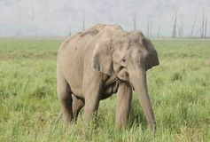 Closeup of Asiatic elephant Royalty Free Stock Image