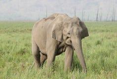 Closeup of Asiatic elephant Stock Photos
