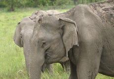 Closeup of Asiatic elephant at Jim Corbett Stock Images