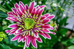 Closeup aster flower Royalty Free Stock Photo