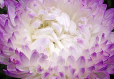 Closeup of aster flower with white petals with purple edges Royalty Free Stock Photo