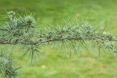 Atlantic cedar branch in a pubic garden. Closeup of atlantic cedar branch in a pubic garden stock photography