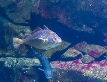 Closeup of a atlantic pollock, popular fish specie from the atlantic ocean