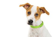 Closeup Attentive Dog - Mixed Medium Size Breed Royalty Free Stock Photo