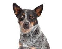 Closeup Of An Australian Cattle Dog. A closeup of a beautiful Australian Cattle Dog stock image