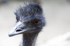 Closeup of Australian Emu bird stock photos